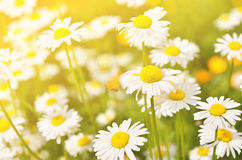 Sommar blommar kamomillblomningar på äng Arkivbild