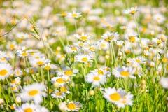 Sommar blommar kamomillblomningar på äng royaltyfri fotografi