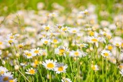 Sommar blommar kamomillblomningar på äng royaltyfria bilder