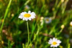 Sommar blommar kamomillblomningar på äng royaltyfri bild