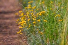 Sommar blommar kamomillblomningar på äng fotografering för bildbyråer