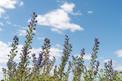 Sommar blommar vid en blå himmel Royaltyfri Foto