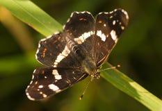 sommar för araschnialevanaöversikt arkivbild