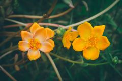 sommar för bloomimg för blomma för gemensam Purslane för apelsin, vår Royaltyfri Foto