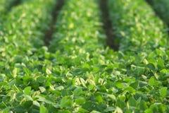 sommar för gröna soybeans Arkivfoton