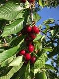 Sommar för körsbärsrött träd royaltyfri fotografi