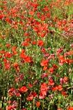 sommar för red för vallmo för färgfält indisk Royaltyfri Foto