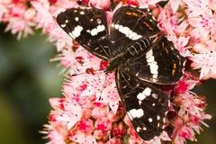sommar för sedum för araschnialevanaöversikt Royaltyfri Fotografi