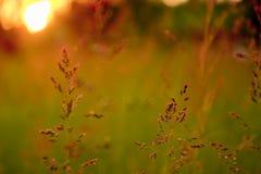 Sommar för sol för solnedgång för närbildsäsonggräs Arkivbilder