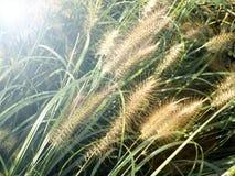 sommar för växt för bakgrundsblurgräs ett Royaltyfri Bild