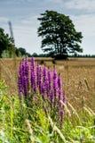 Sommar i Danmark - fält och lupin fotografering för bildbyråer