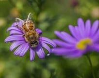 Sommar i London, England - violetta blommor och ett bi royaltyfria bilder
