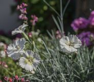 Sommar i London, England - vita blommor royaltyfri foto