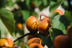 Sommar i trädgården - aprikors som mognar på ett träd fotografering för bildbyråer