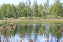 Sommar Lake i skogen royaltyfria foton