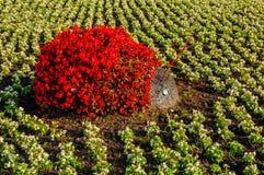 Sommar parkerar att landskap sikten - blomsterrabatt med att landskap detaljer i formen av nyckelpigan som täckas med röda begoni Fotografering för Bildbyråer