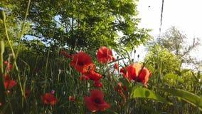 Sommar Poppy Field arkivfilmer