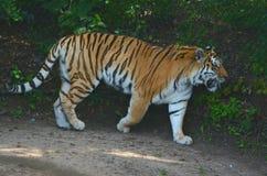 Sommar skuggad Amur tiger Royaltyfri Fotografi