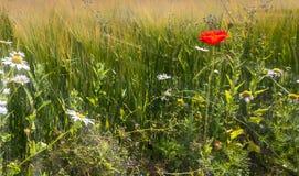 Sommar som blomstrar fältet i bygd, EC, Europa Arkivfoton