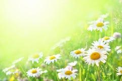 Sommar som blomstrar tusenskönor, kamomillar på ängen, skinande blom- blommakort arkivfoton