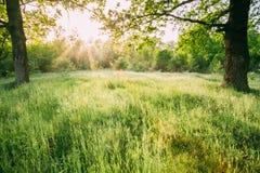 Sommar Sunny Forest Trees And Green Grass Naturträn i solljus Royaltyfri Fotografi