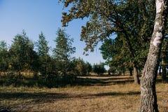 Sommar Sunny Forest Trees And Green Grass Wood solljusbakgrund för natur Arkivbilder