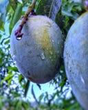 Sommar törstar den fyllande mango royaltyfri fotografi