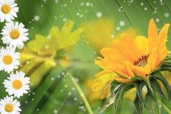 Sommar tusensköna, gul blommabakgrund Royaltyfria Bilder