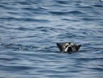 Sommar varmt väder Hunden simmar i havet royaltyfria foton