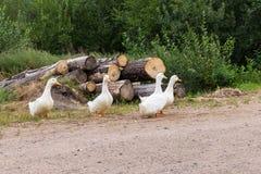 Sommar vitt gässskrubbsår nära vägen arkivfoton