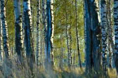 Sommarafton i en björkdunge Fotografering för Bildbyråer