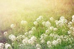 Sommaraftonbakgrund med alissumen för vita blommor, retro signal Arkivfoto