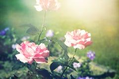Sommarbakgrund med blommande rosor Arkivfoton