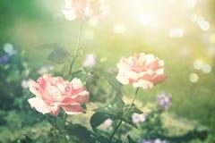 Sommarbakgrund med blommande rosor, solljus och bokeh Fotografering för Bildbyråer
