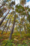 Sommarbarrskog, vertikalt landskap Royaltyfria Foton