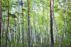 Sommarbjörkskog Fotografering för Bildbyråer