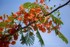 Sommarblomman i för den Krishnachura för sommarsäsongen regia delonixen är blommande, under sommarsäsong som många sorter av blom Royaltyfria Foton