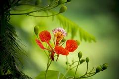 Sommarblomman i för den Krishnachura för sommarsäsongen regia delonixen är blommande, under sommarsäsong som många sorter av blom Arkivbild