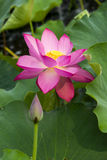 Sommarblommor, lotusblomma, Royaltyfri Bild