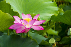 Sommarblommor, lotusblomma, Royaltyfri Fotografi