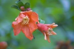 Sommarblommor, röd flowers,pomegranate blomma royaltyfri foto