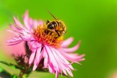 Sommarblomning, aster, bi som samlar pollen Royaltyfri Foto