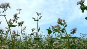 Sommarbovete blomstrar i bakgrund för vind och för blå himmel stock video