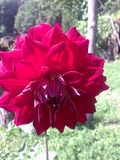 Sommardahlia Royaltyfri Fotografi