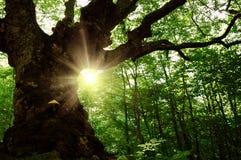 Gammal tree i skogen Arkivfoton