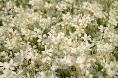 Sommarfält av vita små blommor Arkivbilder