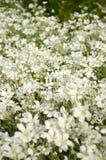 Sommarfält av vita små blommor Arkivfoton
