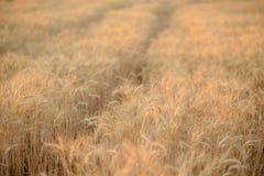 Sommarfältet av det mognade vetet arkivbilder