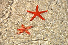 Den röda sjöstjärnan i blir grund av stranden Arkivbild