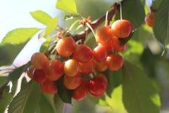 Sommarfrukter Arkivfoto